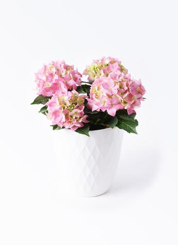 鉢花 あじさい 4号 コメットハーモニー リッチェル キンバリー ホワイト 付き
