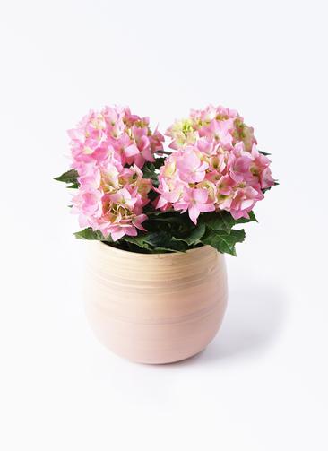 鉢花 あじさい 4号 コメットハーモニー ササール ピンク 付き