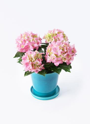 鉢花 あじさい 4号 コメットハーモニー ベラ ブルー 付き