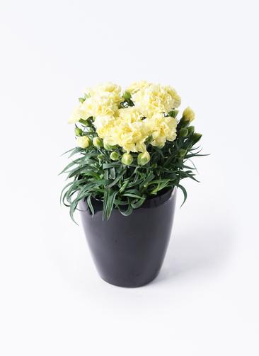 鉢花 カーネーション 5号 ハニームーン ラスターポット ブラック 付き