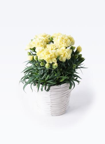 鉢花 カーネーション 5号 ハニームーン ホワイトバスケット 付き