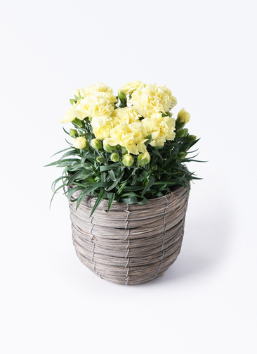 鉢花 カーネーション 5号 ハニームーン ウードンラウンド バンドルグレイ 付き