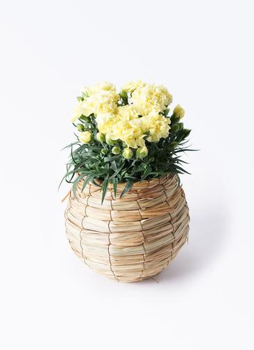 鉢花 カーネーション 5号 ハニームーン バスケット 付き