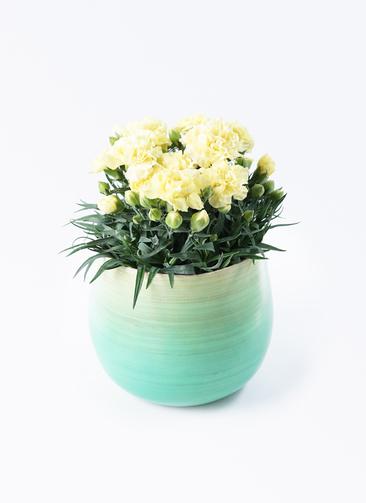 鉢花 カーネーション 5号 ハニームーン ササール ブルー 付き