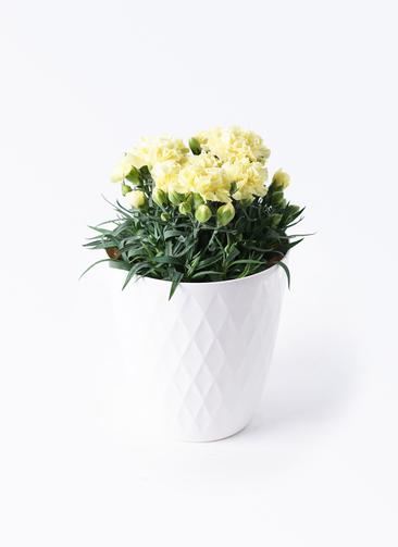 鉢花 カーネーション 5号 ハニームーン リッチェル キンバリー ホワイト 付き