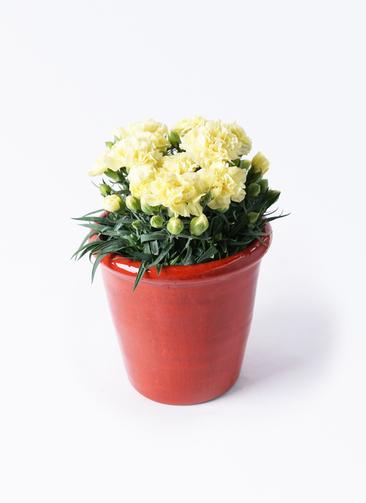 鉢花 カーネーション 5号 ハニームーン アンティークテラコッタ レッド 付き