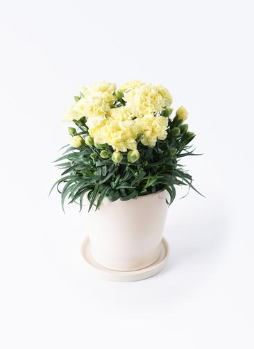 鉢花 カーネーション 5号 ハニームーン ベラ アイボリー 付き
