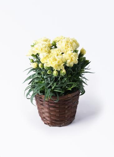 鉢花 カーネーション 5号 ハニームーン 竹バスケット 付き