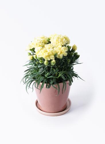 鉢花 カーネーション 5号 ハニームーン ベラ ピンクパープル 付き