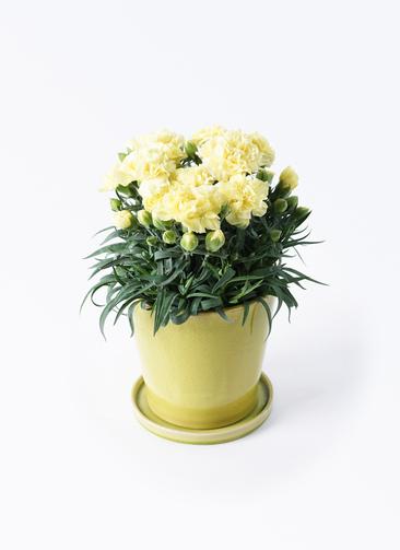 鉢花 カーネーション 5号 ハニームーン ベラ ニューグリーン 付き