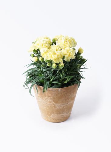 鉢花 カーネーション 5号 ハニームーン アートストーン ラウンドベージュ 付き