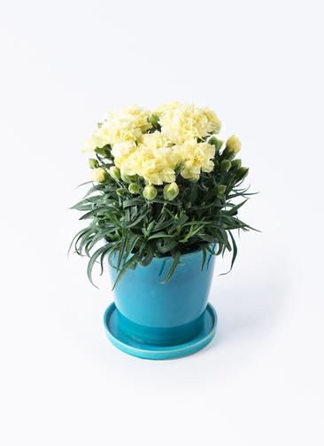 鉢花 カーネーション 5号 ハニームーン ベラ ブルー 付き