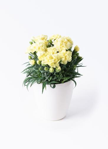 鉢花 カーネーション 5号 ハニームーン ラスターポット付き