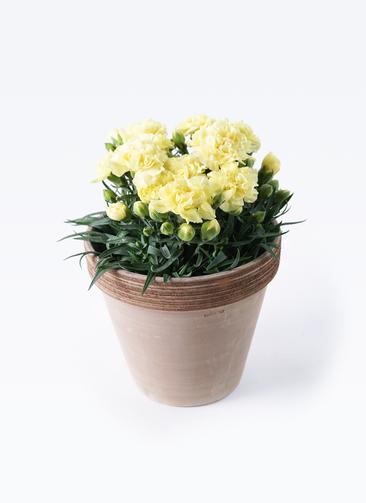 鉢花 カーネーション 5号 ハニームーン スタンダードポット コーヒースクラッチ 付き