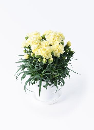 鉢花 カーネーション 5号 ハニームーン プラスチック鉢