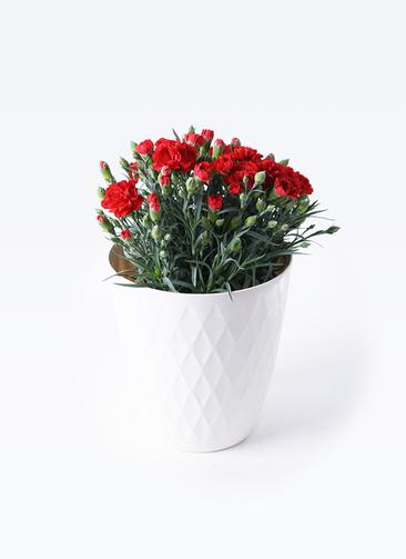 鉢花 カーネーション 5号 グランルージュ リッチェル キンバリー ホワイト 付き