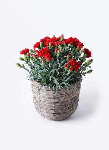 鉢花 カーネーション 5号 グランルージュ ウードンラウンド バンドルグレイ 付き