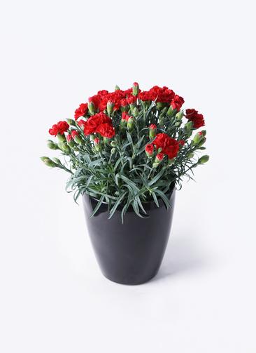 鉢花 カーネーション 5号 グランルージュ ラスターポット ブラック 付き