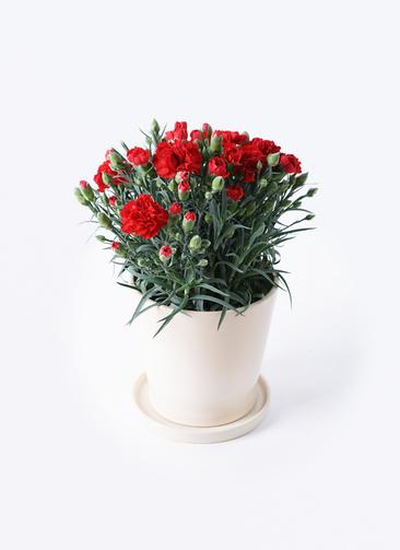 鉢花 カーネーション 5号 グランルージュ ベラ アイボリー 付き