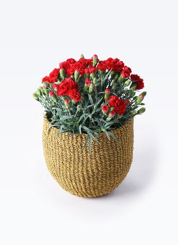 鉢花 カーネーション 5号 グランルージュ アバカバスケット オリーブ 付き