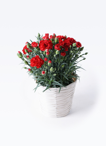 鉢花 カーネーション 5号 グランルージュ ホワイトバスケット 付き