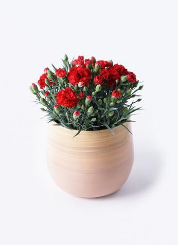 鉢花 カーネーション 5号 グランルージュ ササール ピンク 付き