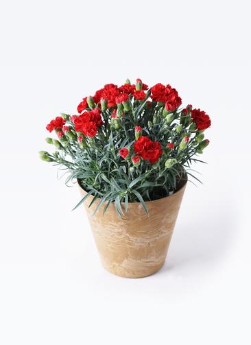 鉢花 カーネーション 5号 グランルージュ アートストーン ラウンドベージュ 付き