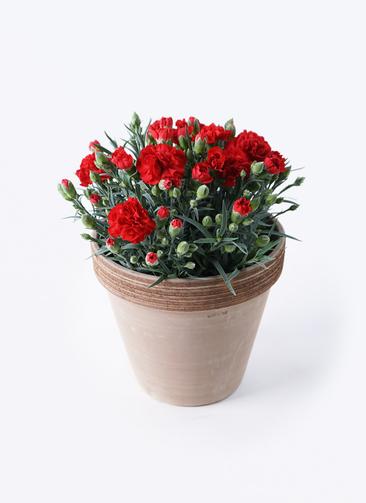 鉢花 カーネーション 5号 グランルージュ スタンダードポット コーヒースクラッチ 付き