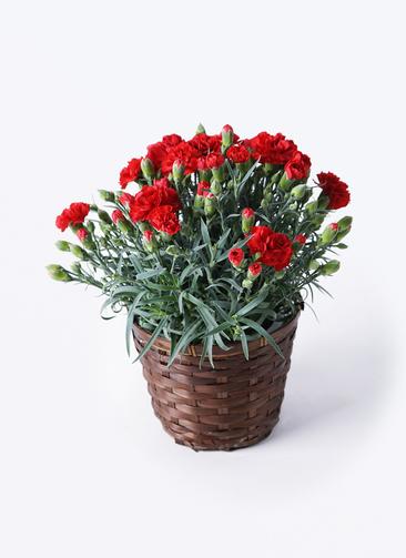 鉢花 カーネーション 5号 グランルージュ 竹バスケット 付き