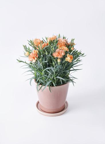 鉢花 カーネーション 5号 オレンジドレス ベラ ピンクパープル 付き