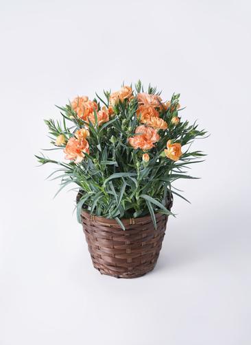 鉢花 カーネーション 5号 オレンジドレス 竹バスケット 付き