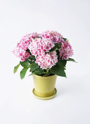 鉢花 あじさい 5号 ハワイアンファーストレディ ベラ ニューグリーン 付き
