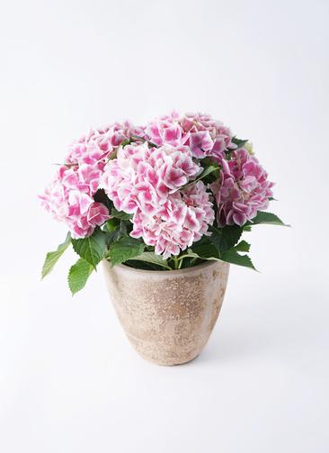 鉢花 あじさい 5号 ハワイアンファーストレディ ルーガ アンティコ エッグ 付き