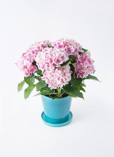 鉢花 あじさい 5号 ハワイアンファーストレディ ベラ ブルー 付き