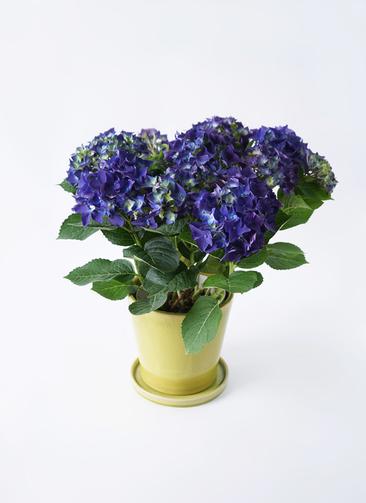 鉢花 あじさい 5号 ディープパープル ベラ ニューグリーン 付き