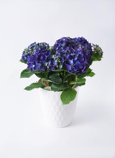 鉢花 あじさい 5号 ディープパープル リッチェル キンバリー ホワイト 付き