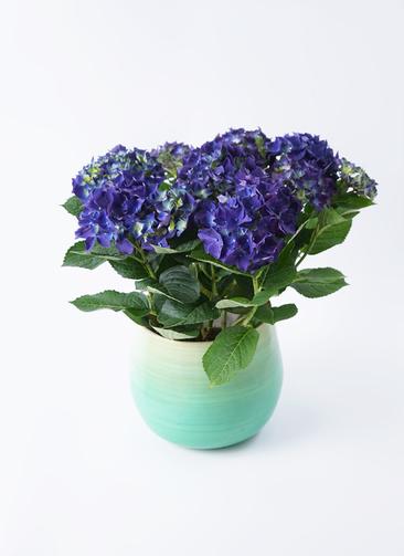 鉢花 あじさい 5号 ディープパープル ササール ブルー 付き
