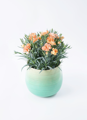 鉢花 カーネーション 5号 オレンジドレス ササール ブルー 付き
