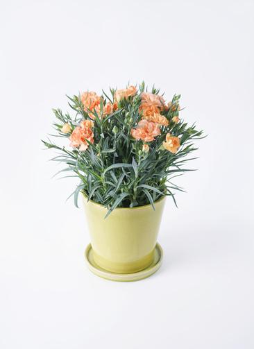 鉢花 カーネーション 5号 オレンジドレス ベラ ニューグリーン 付き