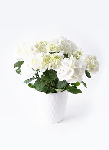 鉢花 あじさい 5号 シュガーホワイト リッチェル キンバリー ホワイト 付き