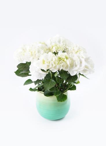 鉢花 あじさい 5号 シュガーホワイト ササール ブルー 付き