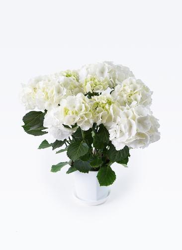 鉢花 あじさい 5号 シュガーホワイト プラスチック鉢