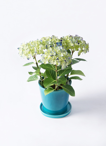 鉢花 あじさい 5号 ラグーン ベラ ブルー 付き