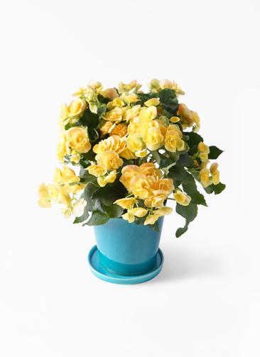 鉢花 リーガスベゴニア 5号 イエローストーン ベラ ブルー 付き