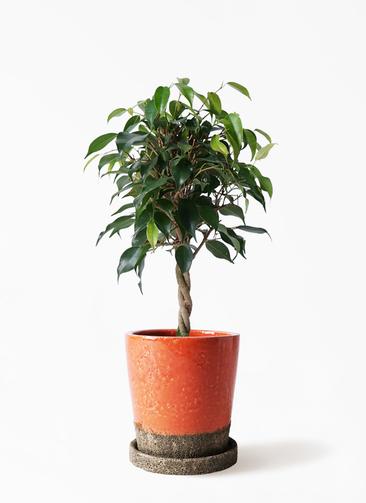観葉植物 フィカス ベンジャミン 4号 玉造り ヴィフポット オレンジ 付き