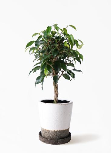観葉植物 フィカス ベンジャミン 4号 玉造り ヴィフポット ホワイト 付き
