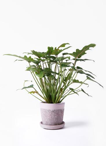 観葉植物 クッカバラ 4号 ハレー ピンク 付き