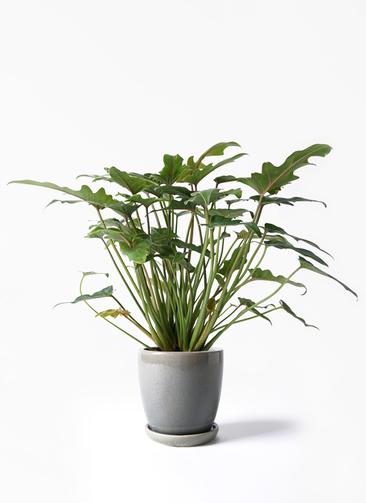 観葉植物 クッカバラ 4号 アステア トール ライトグレー 付き