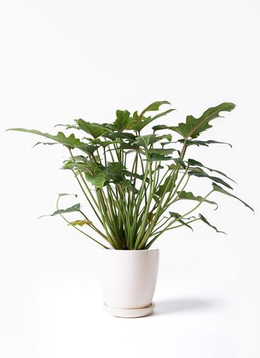 観葉植物 クッカバラ 4号 アステア トール ホワイト 付き