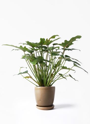観葉植物 クッカバラ 4号 アステア トール ブラウン 付き